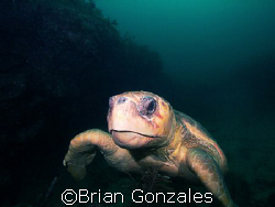Sea Turtle, Key Largo, FL by Brian Gonzales 